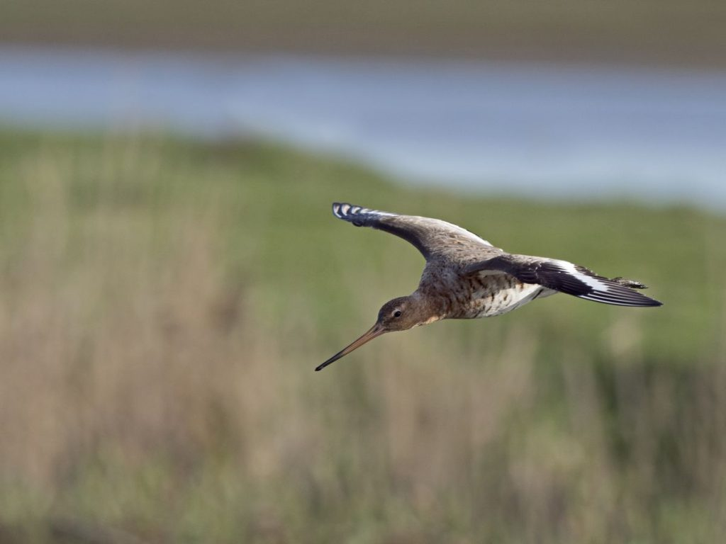 Extraordinary flight of a bird that flew restlessly for 11 days from Alaska to New Zealand |  Expert Area |  Climate and environment